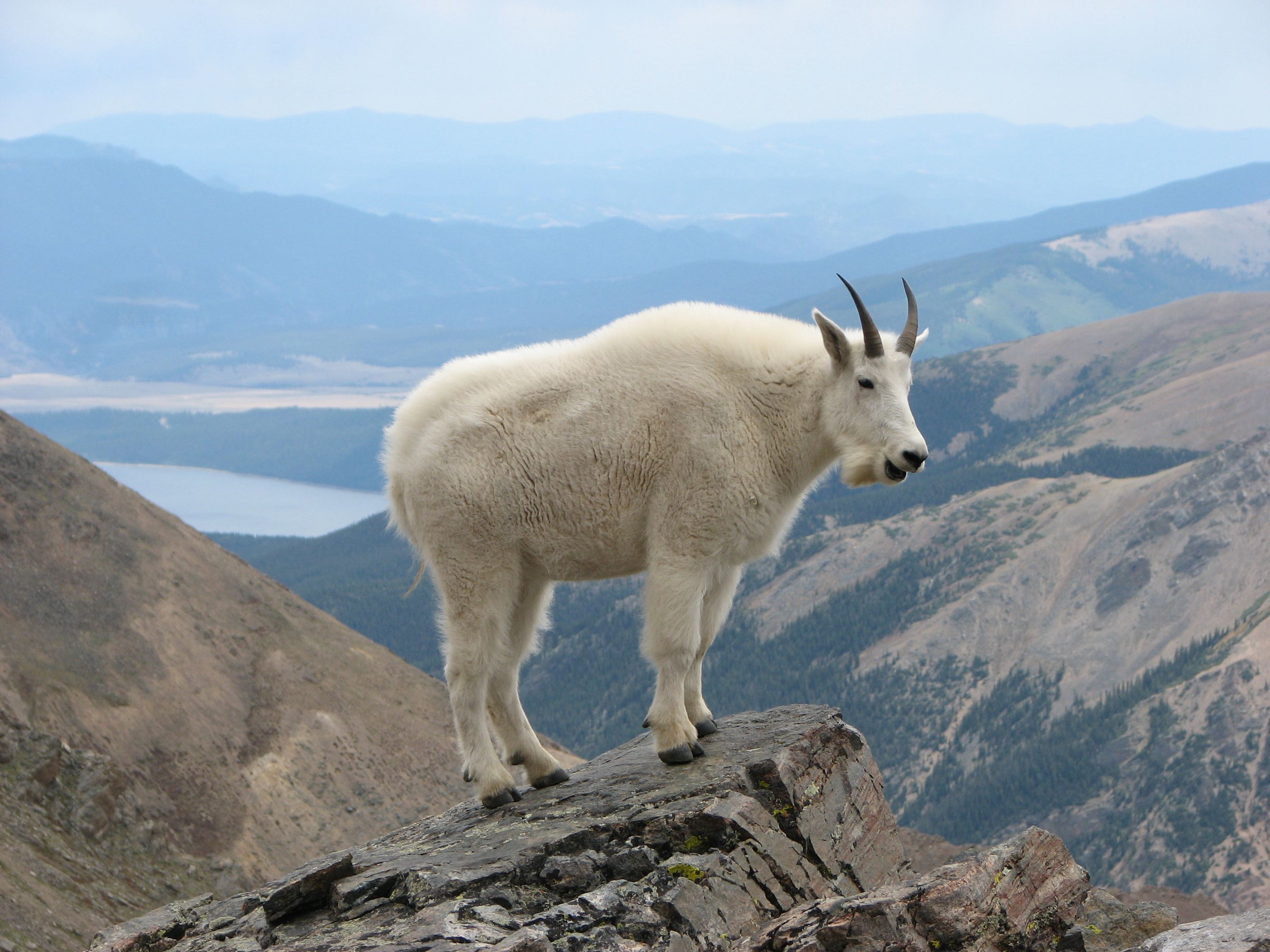cashmere_yarn_china_pashmina_india_Mountain_Goat_Mount_Massive